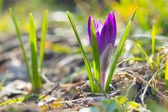 Élevage violet de crocus Images stock