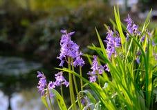 Élevage vu par jacinthes des bois majestueuses de ressort par un étang voisin Image stock