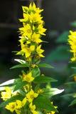 Élevage vulgaris de Lysimachia dans le jardin Jour ensoleillé Image libre de droits