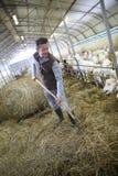 Éleveur d'homme fonctionnant dans la grange rassemblant le foin Images libres de droits