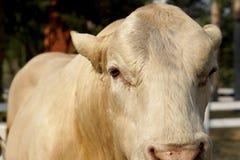 Éleveur de bétail dans la ferme Photo stock
