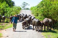 Éleveur de bétail local avec son troupeau Image libre de droits