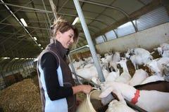 Éleveur de femme des animaux de ferme donnant la nourriture Photos libres de droits