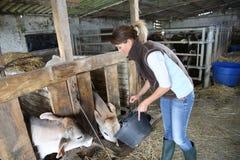 Éleveur de femme donnant la nourriture aux vaches Photos stock