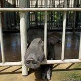 Éleveur noir de porc Photos libres de droits