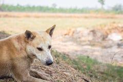 Éleveurs de chiens de la Thaïlande Brown, Thaïlande Images libres de droits