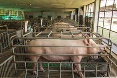 Éleveurs de porc de mère Image stock
