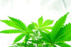 Élevez le cannabis récréationnel juridique Fleur de cannabis s'élevant à l'intérieur Tension légère du nord Développez-vous élève photographie stock libre de droits