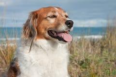 Élevez le chien de moutons sur une voie herbeuse de dune de sable Images stock