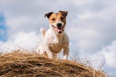 Élevez le chien sur la meule de foin au jour d'été ensoleillé Photo libre de droits