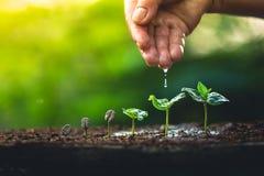 Élevez le soin de main de caféier d'usine de grains de café et arroser les arbres même la lumière en nature Images libres de droits