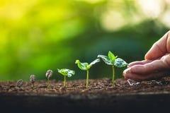 Élevez le soin de main de caféier d'usine de grains de café et arroser les arbres même la lumière en nature Photographie stock