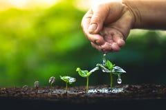 Élevez le soin de main de caféier d'usine de grains de café et arroser les arbres même la lumière en nature Photos libres de droits