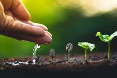 Élevez le soin de main de caféier d'usine de grains de café et arroser les arbres même la lumière en nature Photo libre de droits
