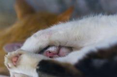 Élevez les chats dormant sur le porche de ferme se reposant après la proie de nuit Image stock