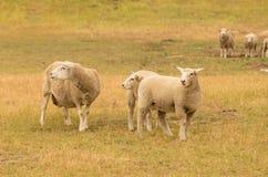 Élevez les moutons au-dessus du champ d'herbe, la ferme d'animaux de laine Photos stock