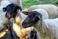 Élevez les moutons sur le soleil, soirée, été Photo stock