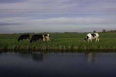 Élevez les vaches néerlandaises avec le fond bleu et vert Photographie stock libre de droits