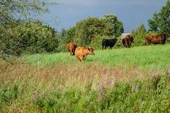 Élevez les vaches se reposant dans le pré près de la ferme Photographie stock libre de droits