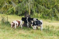 Élevez les vaches se reposant dans le pré près de la ferme Images libres de droits