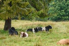 Élevez les vaches se reposant dans le pré près de la ferme Photos stock