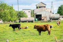 Élevez les vaches se reposant dans le pré près de la ferme Photo stock