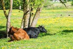 Élevez les vaches se reposant dans le pré près de la ferme Photo libre de droits