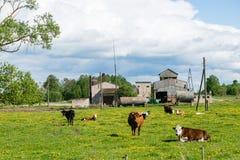 Élevez les vaches se reposant dans le pré près de la ferme Photos libres de droits