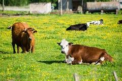 Élevez les vaches se reposant dans le pré près de la ferme Photographie stock