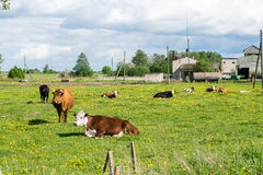 Élevez les vaches se reposant dans le pré près de la ferme Image stock