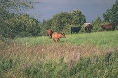 élevez les vaches se reposant dans le pré près de la ferme - regard mat de vintage Images libres de droits