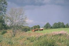 élevez les vaches se reposant dans le pré près de la ferme - regard mat de vintage Image libre de droits