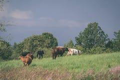 élevez les vaches se reposant dans le pré près de la ferme - regard mat de vintage Photographie stock