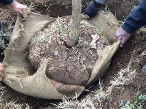 Élimination de l'enveloppe de toile de jute autour de l'arbre nouvellement planté Photo stock