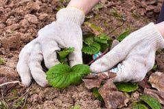 Élimination de vieilles feuilles des fraises Image libre de droits