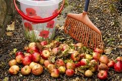 Élimination des pommes de ventis Photographie stock libre de droits