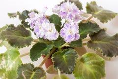 Élite Arkhipov d'EA-Amur de variétés de Saintpaulia avec de belles fleurs colorées Photos stock