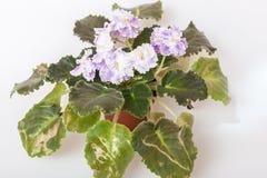 Élite Arkhipov d'EA-Amur de variétés de Saintpaulia avec de belles fleurs colorées Photos libres de droits