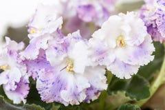 Élite Arkhipov d'EA-Amur de variétés de Saintpaulia avec de belles fleurs colorées Plan rapproché Photo stock