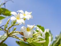 Éloge blanc, la fleur préférée pour gardenning Image libre de droits