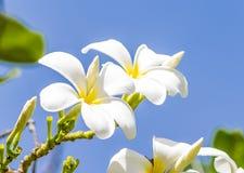 Éloge blanc, la fleur préférée pour gardenning Photos stock