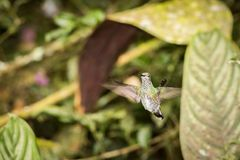 Émeraude andine volante Images stock