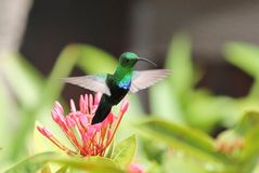 Émeraude occidentale de colibri Photographie stock