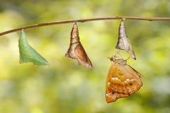 Émergé de la chrysalide du papillon brun de prince accrochant sur la brindille Photographie stock libre de droits