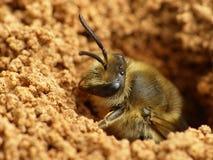 Émergence au sol d'abeille Photographie stock libre de droits