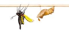 Émergence birdwing d'or de papillon Image libre de droits