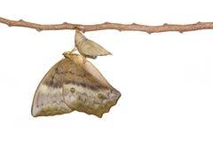 Émergence d'isolement du sondai commun de Discophota de papillon de gourde Images stock