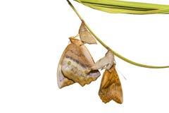 Émergence d'isolement du sondai commun de Discophota de papillon de gourde Image libre de droits