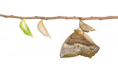 Émergence d'isolement et chrysalide du papillon commun DIS de gourde Photo stock