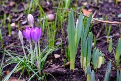 Émergence de fleurs de ressort Images stock